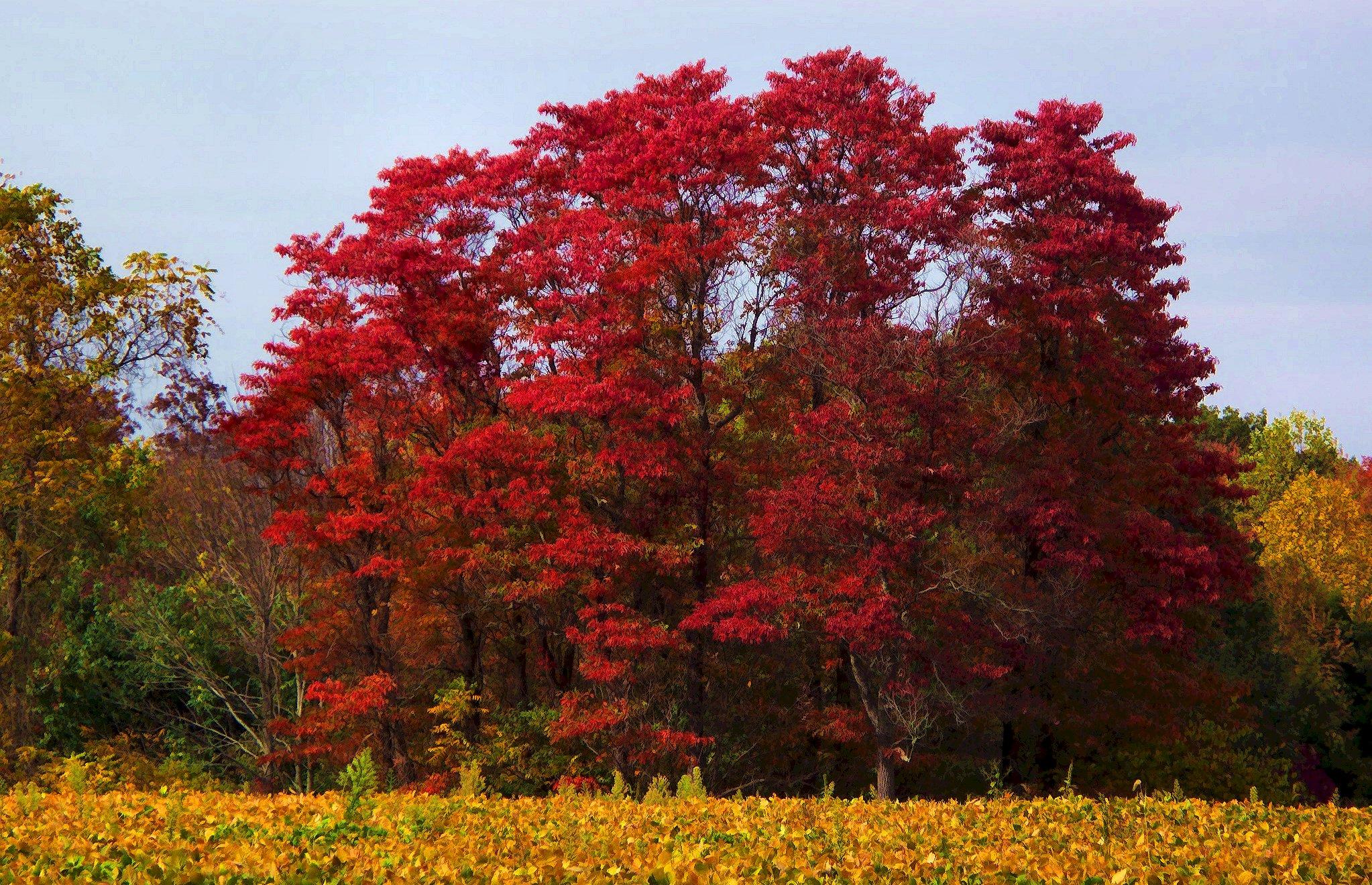 red sassafras trees – Under the Sun and Under the Moon: https://wildwanderingirl.wordpress.com/2013/10/17/sassafras-trees...