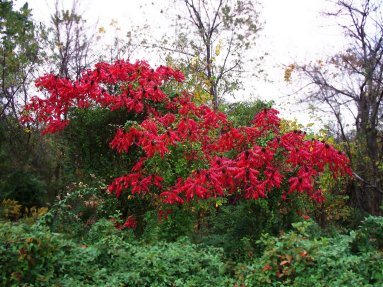 red sumac, south indiana