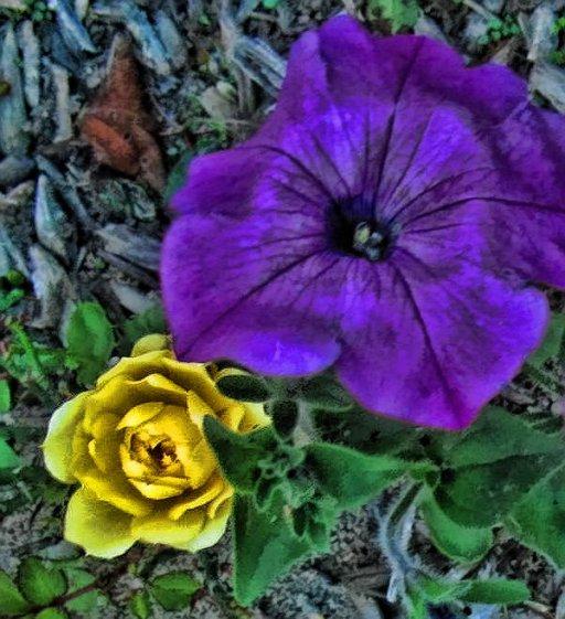 rose and petunia