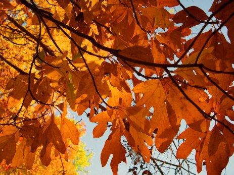 sassafras leaves, south indiana