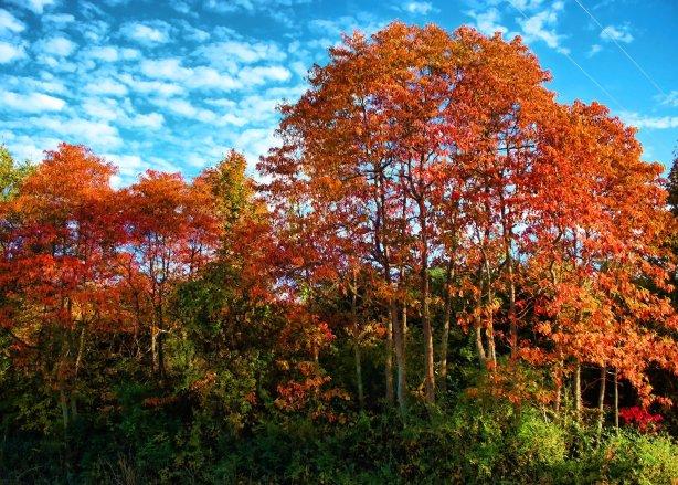 sassafras trees