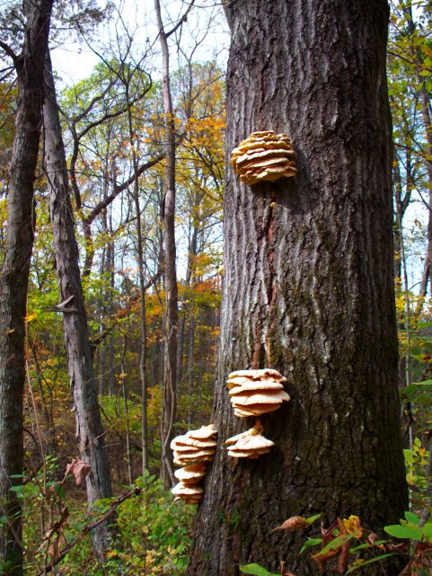 woods fungi, october, south indiana