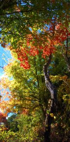 tall fall trees, october, indiana