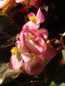 pink begonias