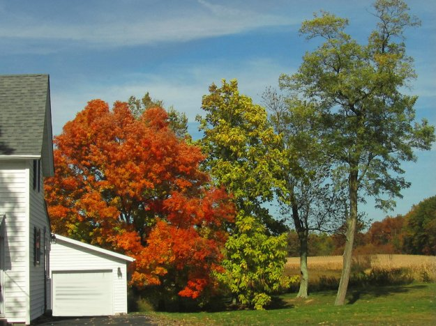 bright colored maple near town