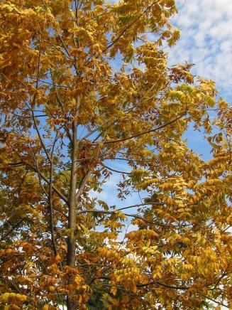 pecan tree leaves in october