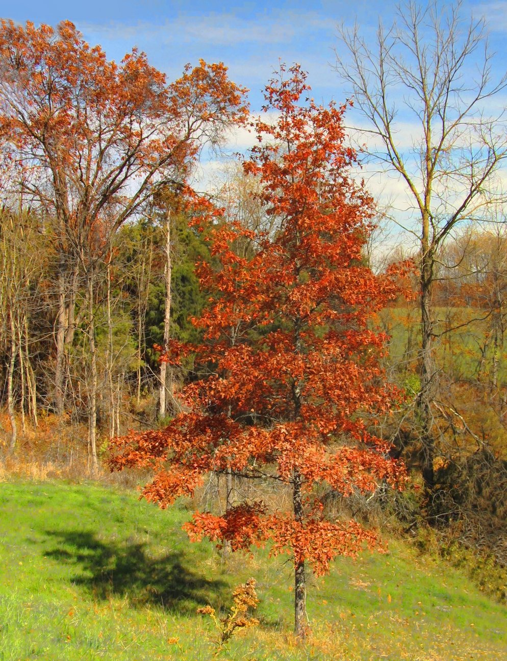 small red maple