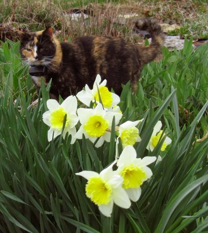 my cat callie among the daffodils