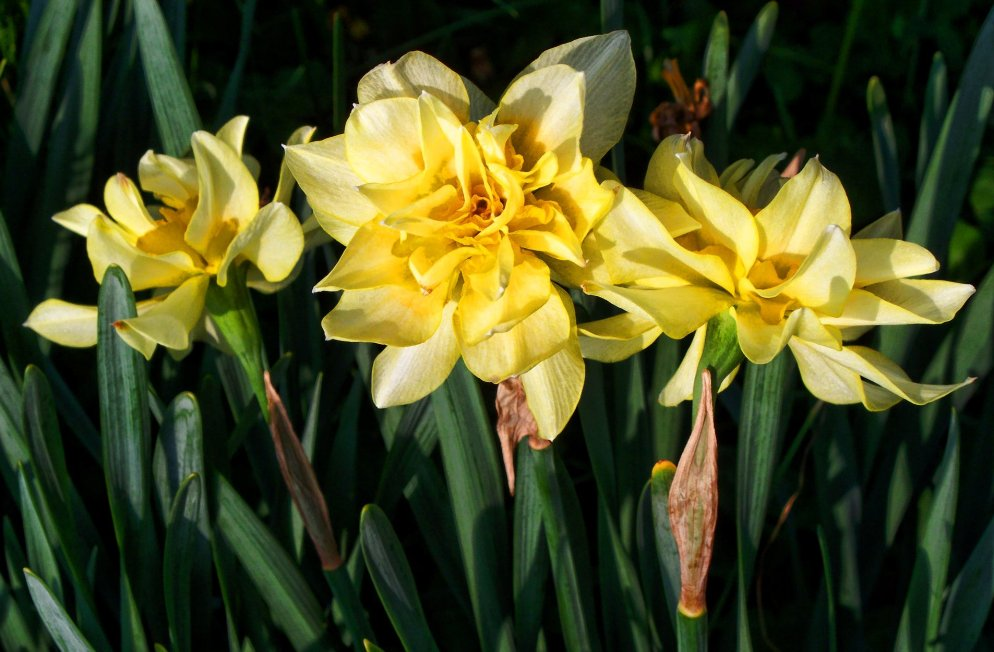 daffodils in early morning light