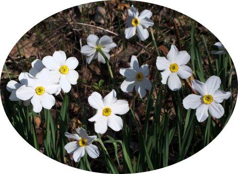 small white daffodils