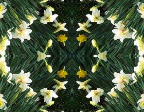 daffodils mirror effect
