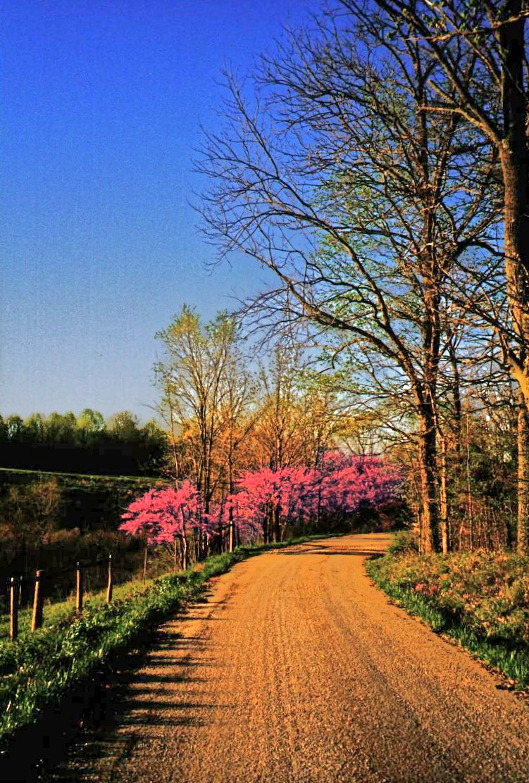 spring redbuds scene at bend of road, afternoon
