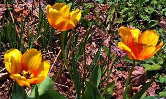 neighbors' tulips