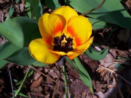 neighbors' yellow tulip