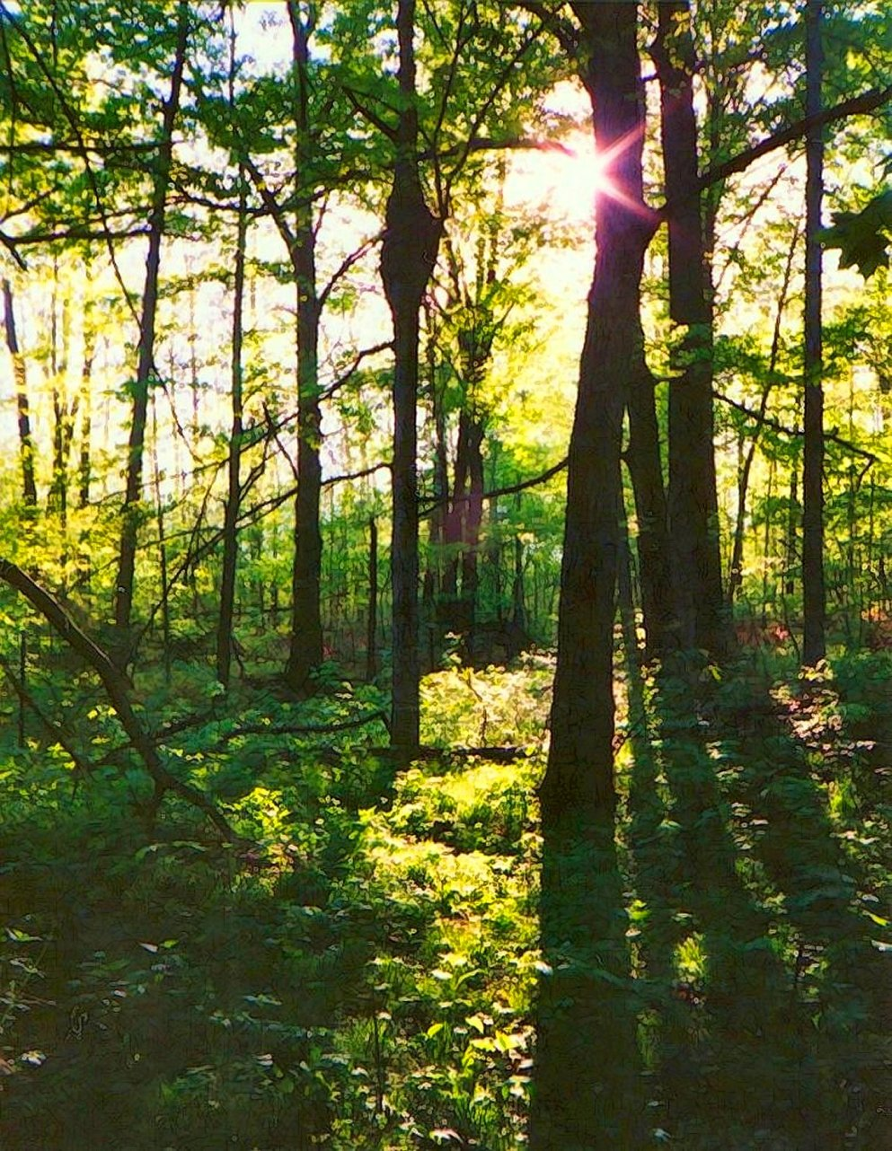 morning light in spring woodland, indiana