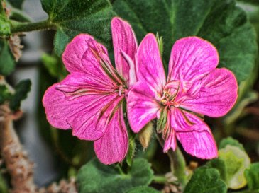 geranium blossom with crayon look filter