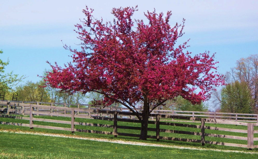neighbors crabapple tree