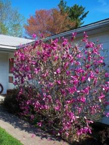 our_magnolia1