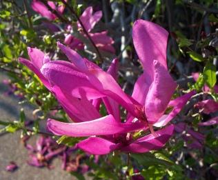 our_magnolia5