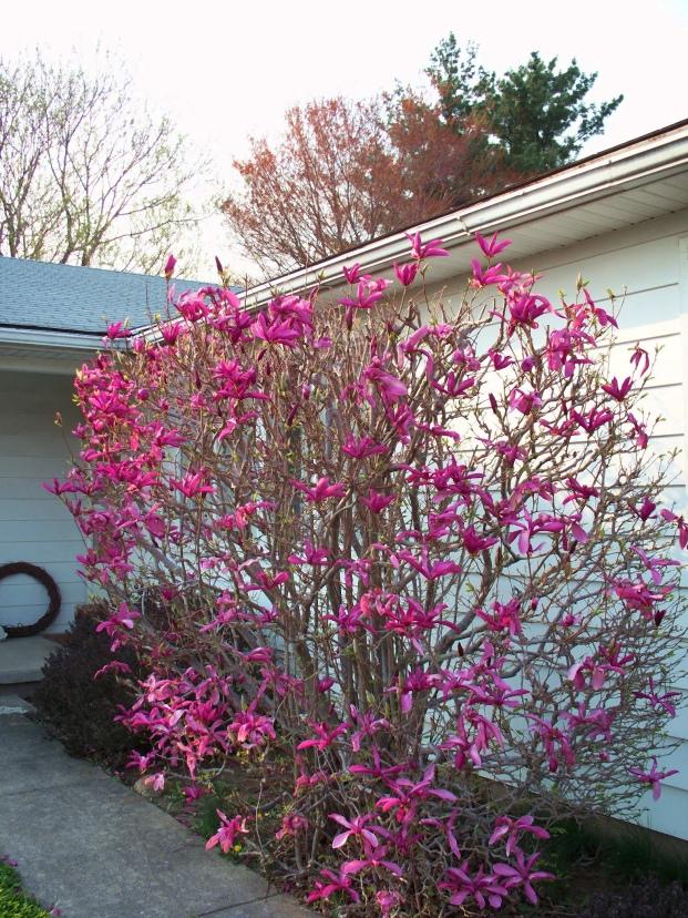 our_magnolia7