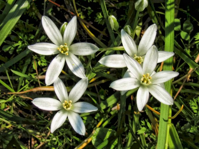 star of bethlehem wildflower