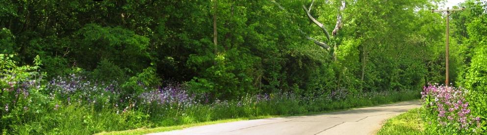 tall wild phlox along country road