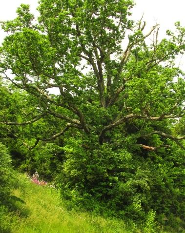 very old landmark tree in hollow