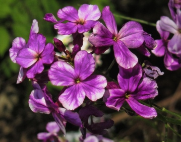 tall wild phlox, variegated purple and white version