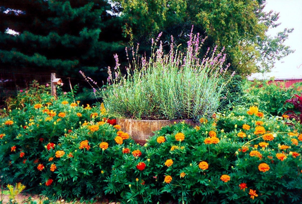 marigolds and lavender