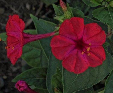 four-oclocks-flowers