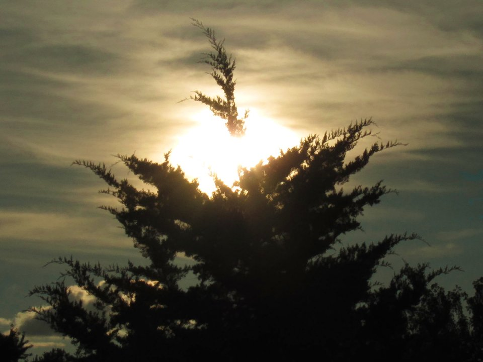 cedar tree with sunset effect