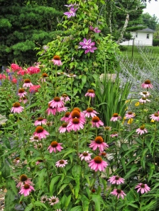 coneflowers-phlox-clematis-coreopsis-russian-sage