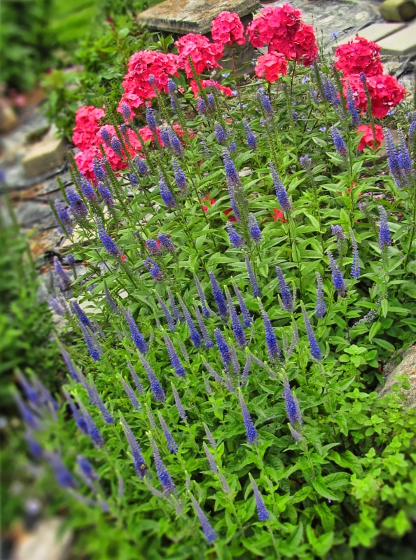 speedwell-and-hardy-phlox