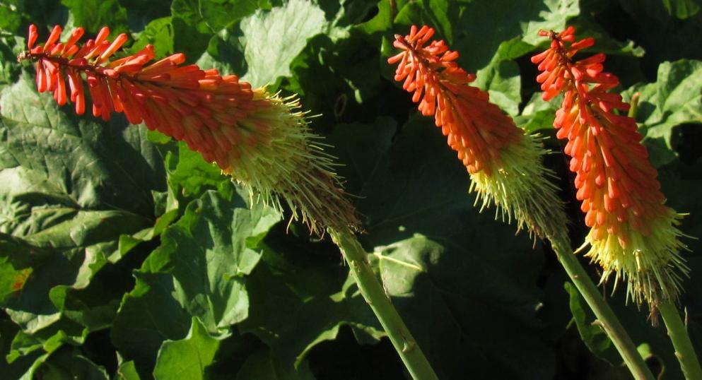 tritoma lily