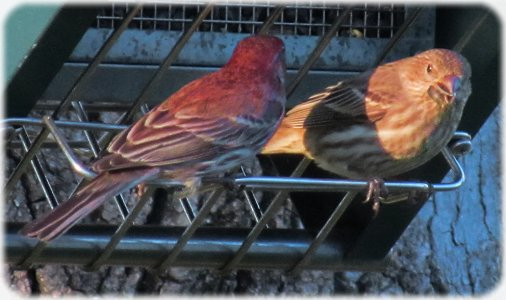male and female red finch