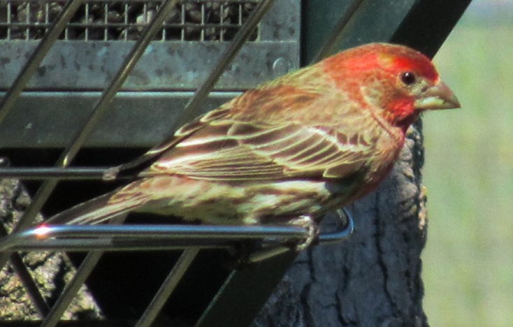purple or red finch