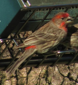 male red or purple finch