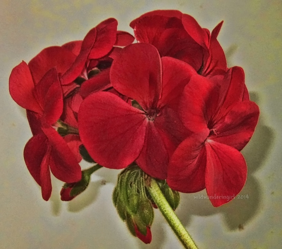 redgeranium14-signed