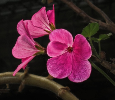 some-more-pink-geraniums2