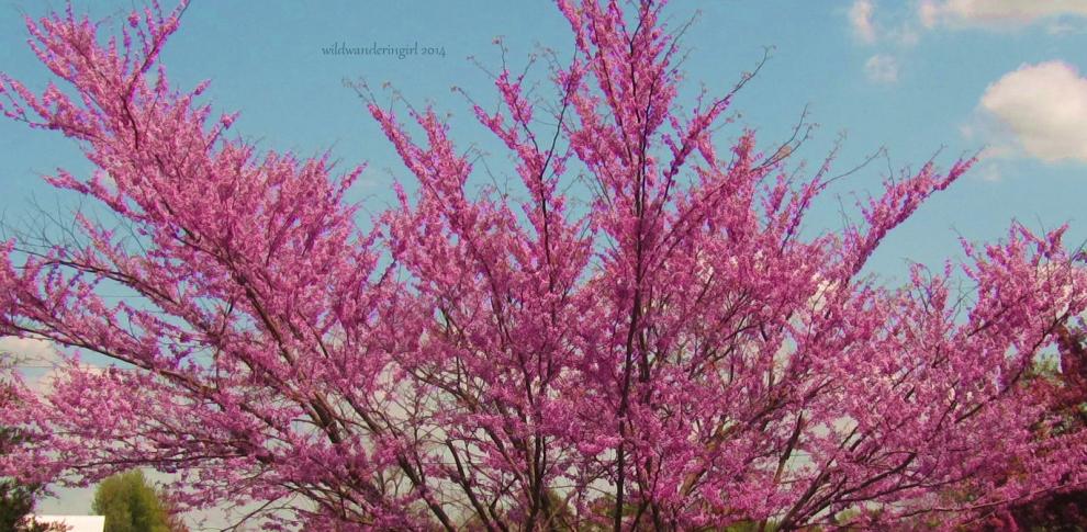 redbud-in-garden2013-2