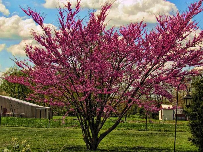 redbud-in-garden2013-3