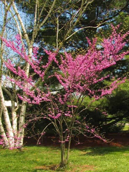 redbud-tree-in-backyard