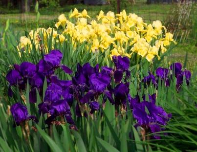 dark_blue_and_yellow_iris