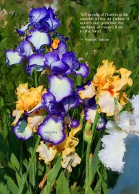 iris_multi_colored
