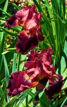 iris_red_and_pink