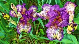 purple_and_white_iris_beauties