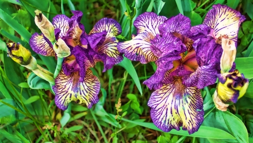 purple_and_white_iris_beauties