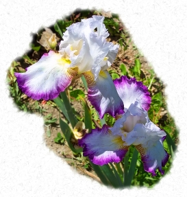 purple_fringed_iris