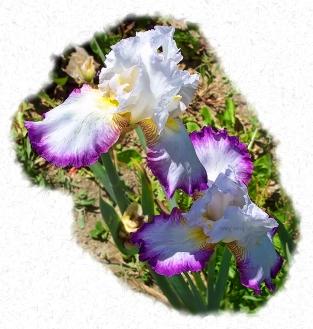 purple_fringed_iris