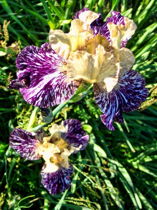 purple_n_white_iris